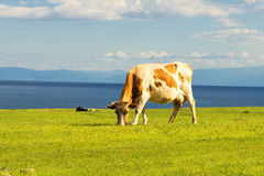 Cows graze in the field. Royalty Free Stock Photo