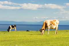 Cows graze in the field. Royalty Free Stock Photos