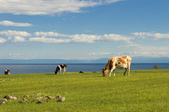 Cows graze in the field Stock Photography