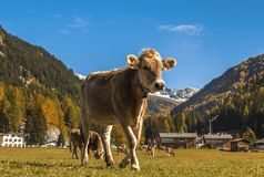 Cows graze on the field in Davos in Switzerland on the background of the Swiss Alps. Davos Switzerland. Cows graze on the field in Davos in Switzerland on the Stock Photos