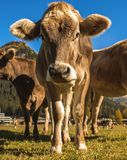 Cows graze on the field in Davos in Switzerland on the background of the Swiss Alps. Davos Switzerland. Cows graze on the field in Davos in Switzerland on the Royalty Free Stock Photos