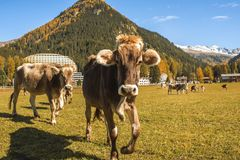 Cows graze on the field in Davos in Switzerland on the background of the Swiss Alps. Davos Switzerland. Cows graze on the field in Davos in Switzerland on the Royalty Free Stock Photography