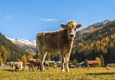 Cows graze on the field in Davos in Switzerland on the background of the Swiss Alps. Davos Switzerland. Cows graze on the field in Davos in Switzerland on the Royalty Free Stock Image
