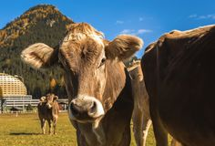 Cows graze on the field in Davos in Switzerland on the background of the Swiss Alps. Davos Switzerland Stock Photos