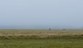 Cows graze in the field in fog Stock Photo