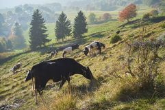 Cows graze in a field