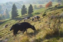 Cows graze in a field