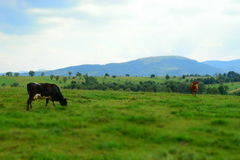 Cows graze in the fields. Two cows graze in the field at the foot of the mountains. Toy effect Stock Photography
