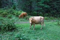 Cows graze in the forest Stock Image