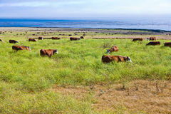 Cows graze fresh grass on a meadow in Andrew Molina State park a Stock Photography