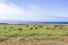 Cows graze fresh grass on a meadow in Andrew Molina State park Stock Photography