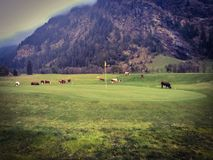 Cows graze on the golf course of Gressoney Stock Photos