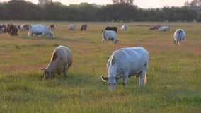 Cows graze on the grass field stock video footage