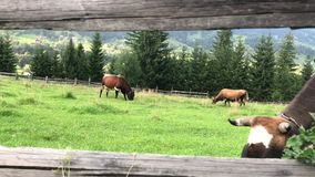 Cows graze on a green field in the mountains of the Carpathians. stock video