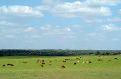 Cows graze in a green grass field Royalty Free Stock Image