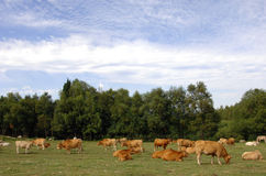 Cows graze in a green grass field Royalty Free Stock Photos