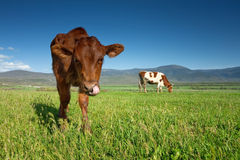 Cows graze on green meadow Stock Image