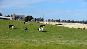 Cows graze on a green meadow Royalty Free Stock Images