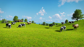 Cows graze on a green pasture Royalty Free Stock Photos