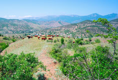 Cows graze on a hillside Royalty Free Stock Photos