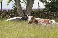 Cows graze lying Stock Image