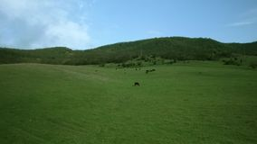 Cows graze in the meadow. Aerial footage Cows graze in the meadow stock footage