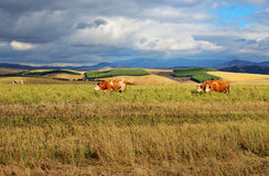 Cows graze on a meadow against. The background of mountains Royalty Free Stock Images