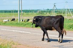 Cows graze in the meadow along the road Royalty Free Stock Photos
