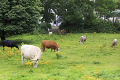 Cows graze in the meadow. Royalty Free Stock Photo