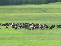 Cows graze... Cows graze in the meadow Belarusian Stock Image