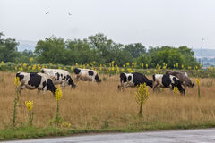 Cows graze in the meadow 2 Stock Images