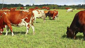 Cows graze in the meadow stock video footage