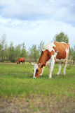Cows graze in the meadow. Cows graze on a green meadow Stock Images