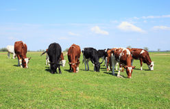 Cows graze in the meadow. Royalty Free Stock Photography