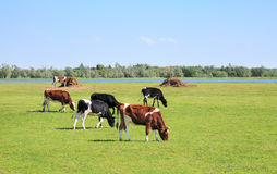 Cows graze in the meadow. Cows graze in a green meadow Stock Images