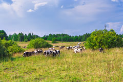 Cows graze in the meadow Stock Images
