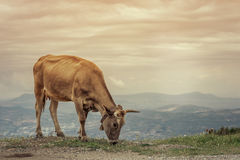 Cows graze on a meadow of mountain at sunset of Greece. Cow on the mountain opposite the Greek city of Volos. Royalty Free Stock Images