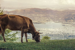 Cows graze on a meadow of mountain at sunset of Greece. Cow on the mountain opposite the Greek city of Volos. Stock Photography