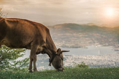 Cows graze on a meadow of mountain at sunset of Greece. Cow on the mountain opposite the Greek city of Volos. Royalty Free Stock Photography