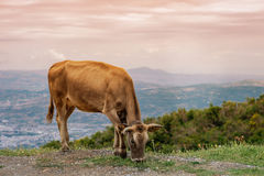 Cows graze on a meadow of mountain at sunset of Greece. Cow on the mountain opposite the Greek city of Volos. Royalty Free Stock Photos