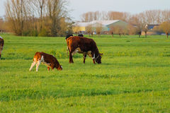 Cows graze in a meadow near a farm in the Netherlands. Stock Photography