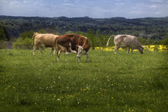 Cows graze in the meadow Royalty Free Stock Photo