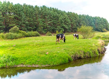 Cows graze in the meadow. Stock Photography