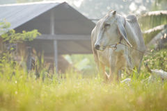 Cows graze. In the meadow, Thailand Royalty Free Stock Images