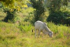 Cows graze. In the meadow, Thailand Stock Photos