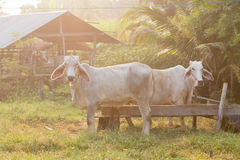 Cows graze. In the meadow, Thailand Stock Photography