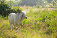 Cows graze. In the meadow, Thailand Royalty Free Stock Image