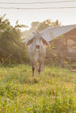 Cows graze Stock Photo