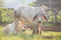 Cows graze. In the meadow, Thailand Royalty Free Stock Photos