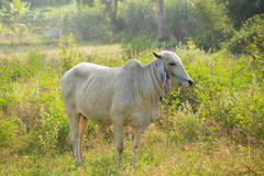 Cows graze. In the meadow, Thailand Royalty Free Stock Photography